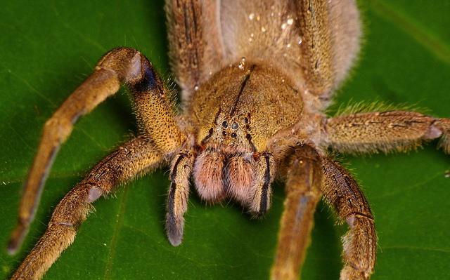 Banana spider venom new viagra
