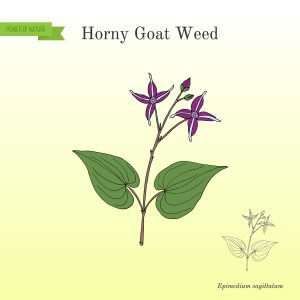 Horny goat weed drawing.