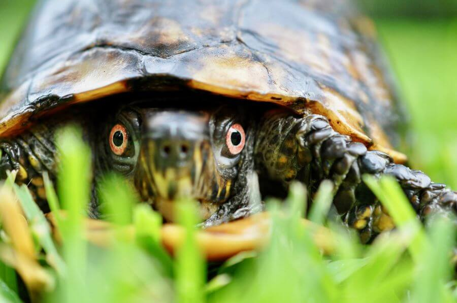 Turtle in grass.